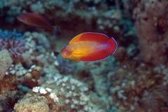 octotaenia migacza paracheilinus morza czerwonego wrasse Zdjęcia Royalty Free