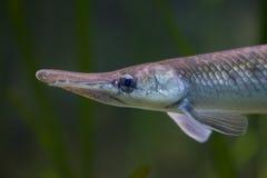 Oculatus manchado do Lepisosteus do peixe-agulha Fotos de Stock
