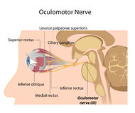 The Oculomotor nerve. The cranial nerve number 3 that controls most of eye movement, eps8 Stock Photography