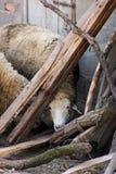 Ocultación de las ovejas Imagen de archivo libre de regalías