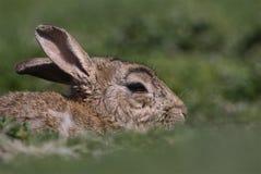 Ocultación del conejo de la isla de Skokholm Fotografía de archivo