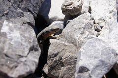 Ocultación del lagarto Foto de archivo