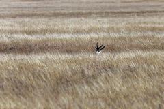 Ocultación masculina de la gacela en los prados fotografía de archivo