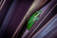 Ocultación verde de la rana arbórea Imagen de archivo libre de regalías