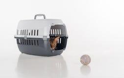 Ocultación y gato abisinio curioso que se sientan en la caja y que miran hacia fuera con la bola del juguete Aislado en el fondo  Fotos de archivo libres de regalías
