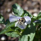 Ocupado como abeja Fotografía de archivo libre de regalías
