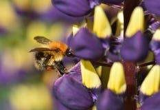 Ocupado como abeja Imagen de archivo libre de regalías