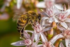` Ocupado como ` de la abeja Fotos de archivo libres de regalías