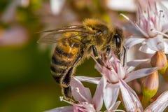 ` Ocupado como ` 2-7 de la abeja Fotos de archivo libres de regalías