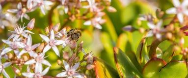 ` Ocupado como ` 2-8 de la abeja Imagenes de archivo