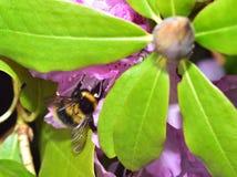 Ocupado manosee la abeja Foto de archivo