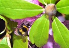 Ocupado manosee la abeja Imagenes de archivo