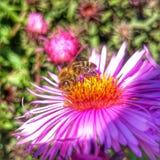 Ocupado púrpura del verano del jardín de flores de la abeja Imagen de archivo libre de regalías