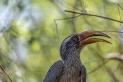 Ocyceros birostris eller indiern Grey Hornbill royaltyfri fotografi