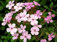 Ocymoides de Saponaria Photo libre de droits