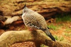 Ocyphaps prawdziwi grubi lophotes w dzikim Czubaty gołębi obsiadanie na małym brench w deszczowym dniu fotografia stock