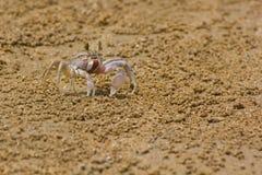Ocypode ceratophthalama Stock Photography