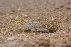 Ocypode ceratophthalama Royalty Free Stock Image