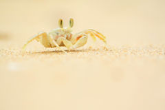 Ocypode ceratophthalama on sand Royalty Free Stock Images