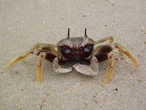 Ocypode ceratophthalma eller Horn-synad spökekrabba Fotografering för Bildbyråer