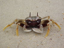 Ocypode ceratophthalma or Horn-eyed ghost crab. Ocypode ceratophthalma or Horned ghost crab or Horn-eyed ghost crab Stock Image