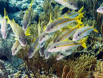 Ocyurus chrysurus, the yellowtail snapper Royalty Free Stock Photos