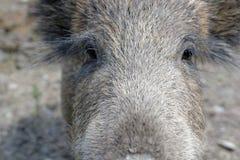 Oczy dzika świnia Fotografia Royalty Free