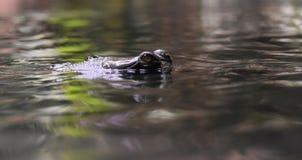 Oczy Gharial krokodyl Osiąga szczyt Z wody Fotografia Royalty Free