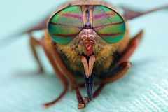 Oczy insekt Portreta giez Hybomitra obraz royalty free