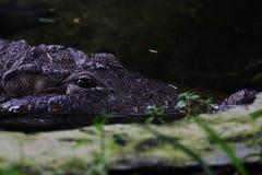 Oczy krokodyl Obrazy Royalty Free