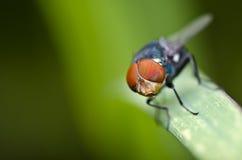 oczy latają liść zieloną czerwień Zdjęcie Royalty Free