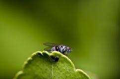 oczy latają liść zieloną czerwień Zdjęcie Stock
