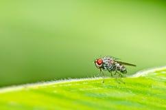 oczy latają natury zieloną czerwień Zdjęcie Stock