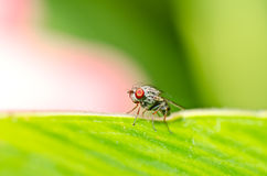 oczy latają natury zieloną czerwień Zdjęcie Royalty Free