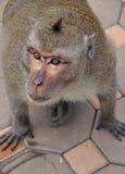 Oczy małpa Zdjęcia Royalty Free