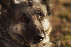 Oczy pies Zdjęcia Royalty Free