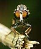 Oczy robberfly Zdjęcie Royalty Free