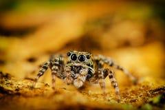 Oczy skokowy pająk Fotografia Stock