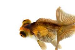oczy smoka złotą rybkę Obrazy Royalty Free