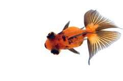 oczy smoka złotą rybkę Zdjęcia Royalty Free