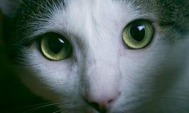 oczy zielone kotów Zdjęcia Stock