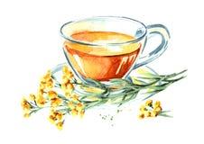 Odödlig buljong eller te Gul blommaHelichrysumarenarium medicinal växt Dragen illustration för vattenfärg som hand isoleras på wh vektor illustrationer