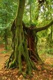 Odörtträd för Stillahavs- nordvästlig skog och för andra tillväxt Fotografering för Bildbyråer