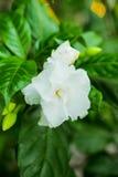 Odświeża białego jaśminowego kwiatu Zdjęcie Royalty Free