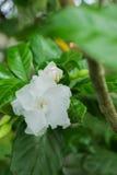 Odświeża białego jaśminowego kwiatu Obrazy Royalty Free