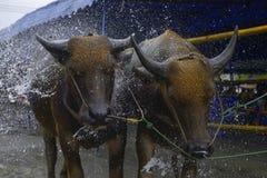 Odświeżający bizon obrazy royalty free