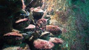Odżywianie krewetki Palaemon elegans morze czarne Ukraina zbiory wideo