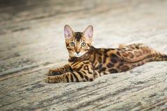 Od above widoku przy ślicznym Bengal kota lying on the beach na podłoga patrzeje kamerę w studiu Fotografia Stock
