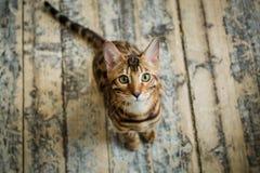 Od above widoku przy ślicznym Bengal kota obsiadaniem na podłoga patrzeje kamerę w studiu Zdjęcia Royalty Free