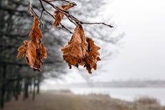 Od above zrozumień dąb gałąź z suchymi liśćmi zakrywającymi z hoar zdjęcia stock
